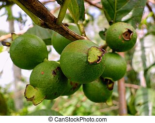 Clump of guava fruit - Clumps of green guava fruit hanging