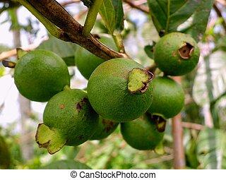 grupo, guayaba, fruta