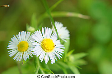 Erigeron annuus (close-up). It was taken by Japan in the...