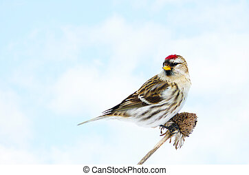 Common redpoll perched - Closeup image of a colorful female...