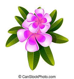 frangipanier, fleur, isolé