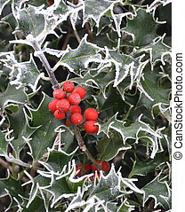 Frosty Holly - Frosty variegated Holly