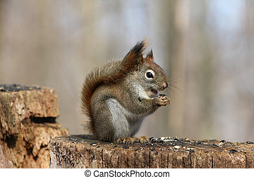 Red Squirrel Tamiasciurus hudsonicus on stump feeding on...