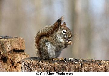 Red Squirrel Tamiasciurus hudsonicus on stump feeding on...