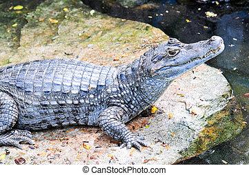 Crocodile - Close up Crocodile in the river