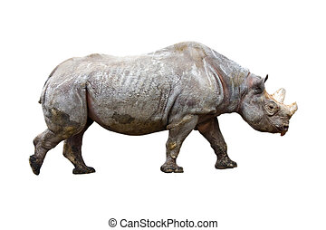 Black rhino isolated - Black rhino or hook-lipped rhinoceros...