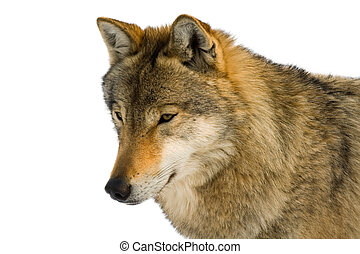 European gray wolf (Canis lupus lupus) isolated