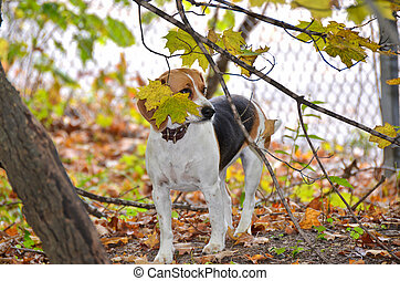 Beagle in autumn woods.