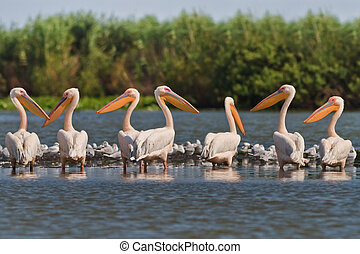 white pelicans pelecanus onocrotalus - a group of pelicans...