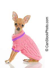 Chihuahua dog in pink sweater, isolated on white background