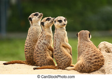 Lovely group of meerkats - Suricate or meerkat (Suricata...