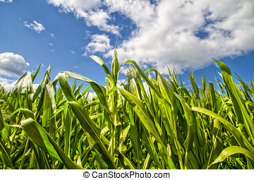 Corn Stalks Blowing in the wind - Tops of corn plants in a...