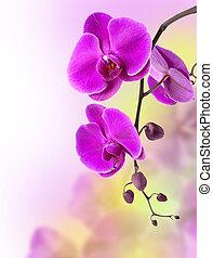 púrpura, orquídea