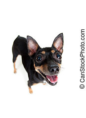 standing toy terrier dog  top view wide angle lens shot