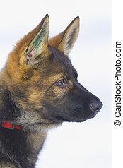 Female German Shepherd puppy 3 month old - Female German...