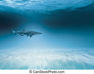Shark is hunting in the shallow water