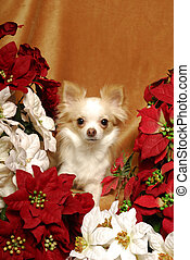 Chihuahua with Poinsettias