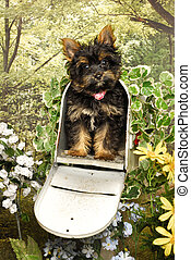 Yorkie Pup in a Mailbox