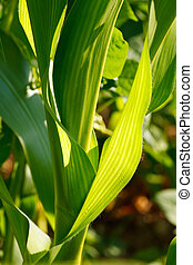 Closeup of Corn Leaves - Close up of green Corn Leaves -...