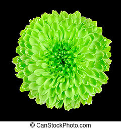 Lime Green Chrysanthemum Flower Isolated on Black - Lime...