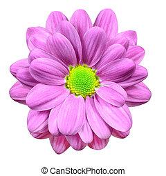 Cor-de-rosa, Dahlia, flor, lima, verde, centro, isolado