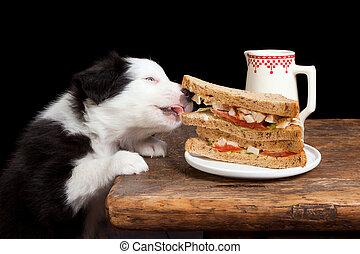 Steeling puppy - Border collie puppy steeling a sandwich...