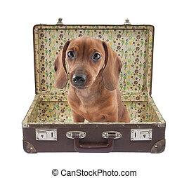Dachshund puppy in vintage suitcase - Dachshund puppy sits...