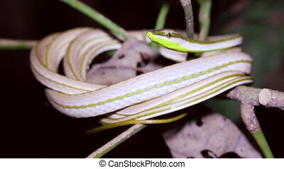 Striped Sharpnose Snake (Xenoxybeli