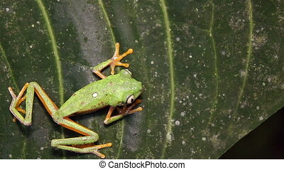 Leaf Frog (Agalychnis hulli) - climbing up a leaf in the...
