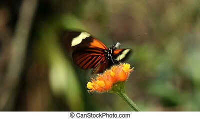 Heliconid butterfly  feeding on a G