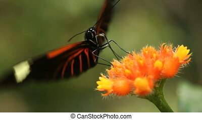 Heliconid butterfly feeding on a G - In the Ecuadorian...