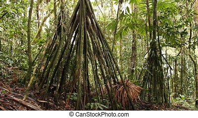 Mossy stilt roots of the palm Iriar - In the rio Bigal...