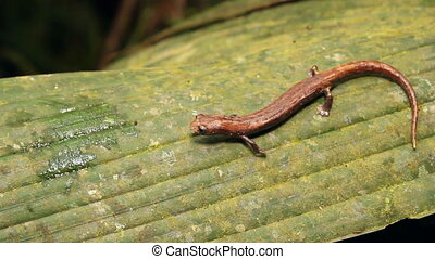 Amazon Climbing Salamander (Bolitog - Walking along a leaf....