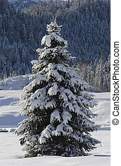 single fir tree in winter