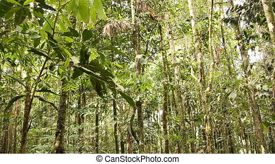 Stilt root palms in the rainforest