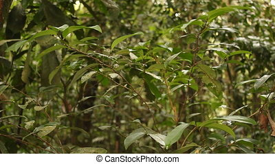 Coca bush (Erythroxylum sp.) - Growing wild in the...