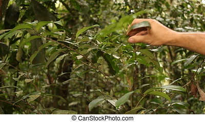Coca bush Erythroxylum sp - Growing wild in the Ecuadorian...