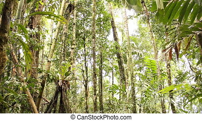 Stilt root palms in the rainforest - In rainforest in the...
