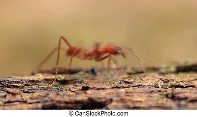 Leaf cutter ants (Atta sp.) - climbing down a tree trunk in...