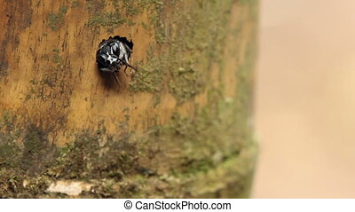Tropical Solitary Wasp - looking out of a nest hole in a...