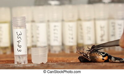 Taking a tissue samples from a frog - Sample of liver being...
