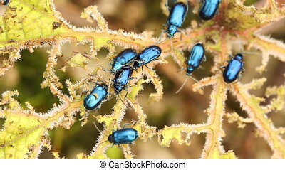 Leaf beetles on Gunnera - Leaf beetles Chrysomelidae...