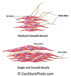 Smooth muscle innervation - Multiunit and single unit smooth...