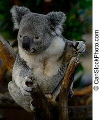 Koala posing on a branch