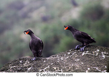 Pare of Crested Auklet: reproductive behavior - Pare of...