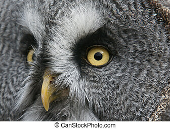 Great Grey Owl - strix nebulosa - Closeup portrait of a...