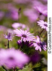 紫色, 雛菊
