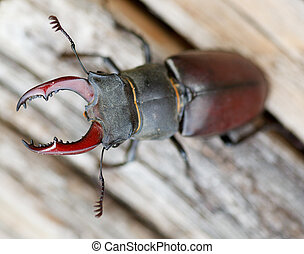Lucanus cervus - stag beetle - Close up of stag beetle -...