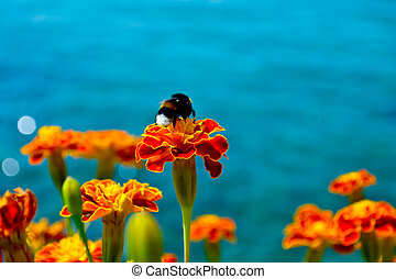 Bumble bee on a marigold with the Mediterranean Sea in the...