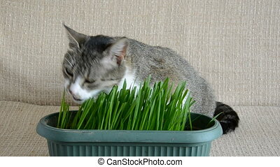 cat eating cats grass